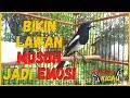 Pancingan Kacer Gacor Roll Tembak Cocok Buat Kacer Yang Macet Bunyi Malas Bunyi Djamin Nyaut  Mp3 - Mp4 Download
