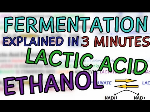 Fermentation explained in 3 minutes - Ethanol and Lactic Acid Fermentation