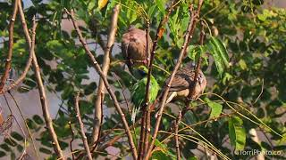 Spotted dove and Golden-fronted leafbird - Birdwatching Northern Thailand