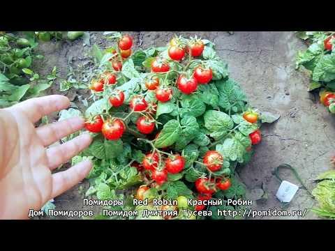 Помидоры — Red Robin — Красный Робин один из самых низеньких сортов помидоров черри. pomidom.ru