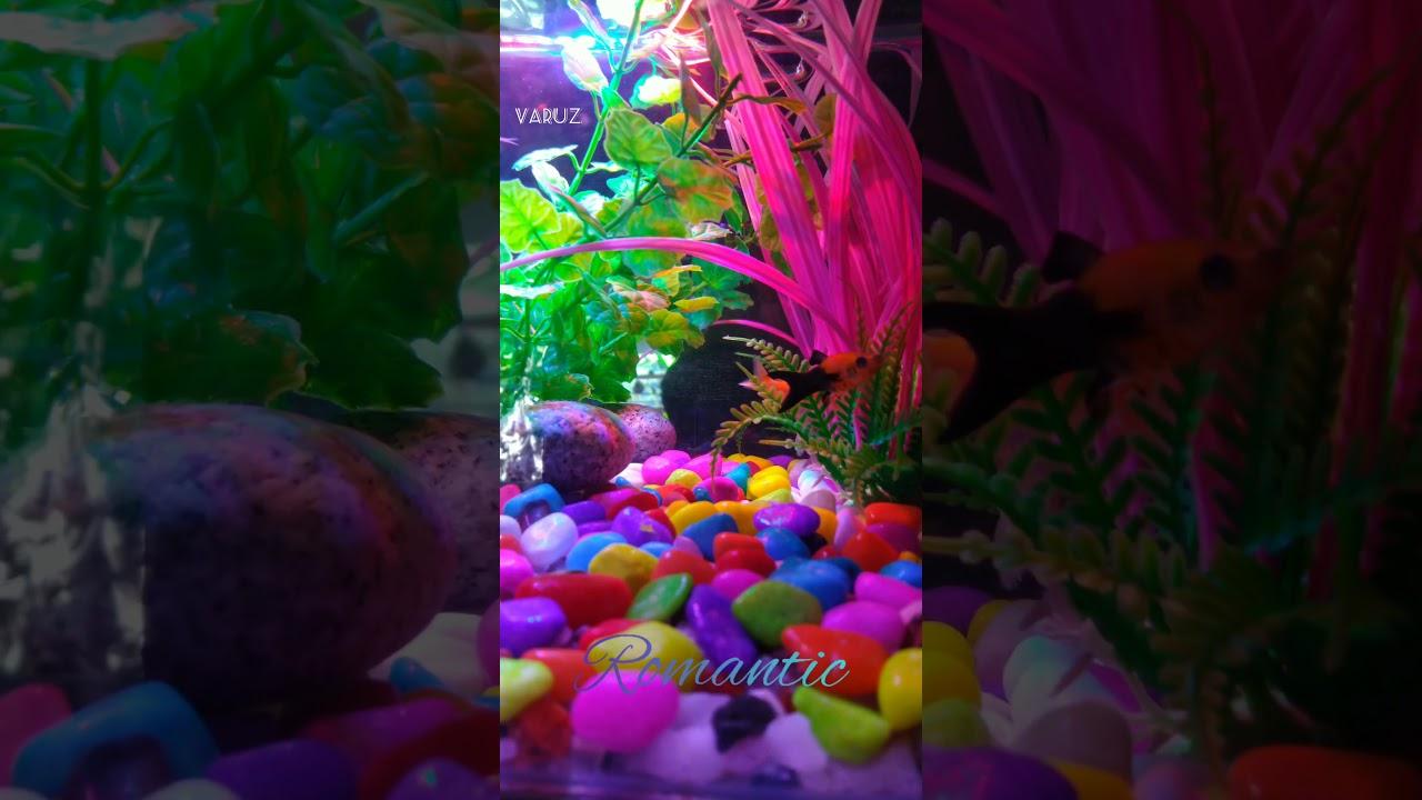 Romantic Status Video Guppy BGM Love, Gold Fish, Colour Lighted Aquarium. Couple Fish Love