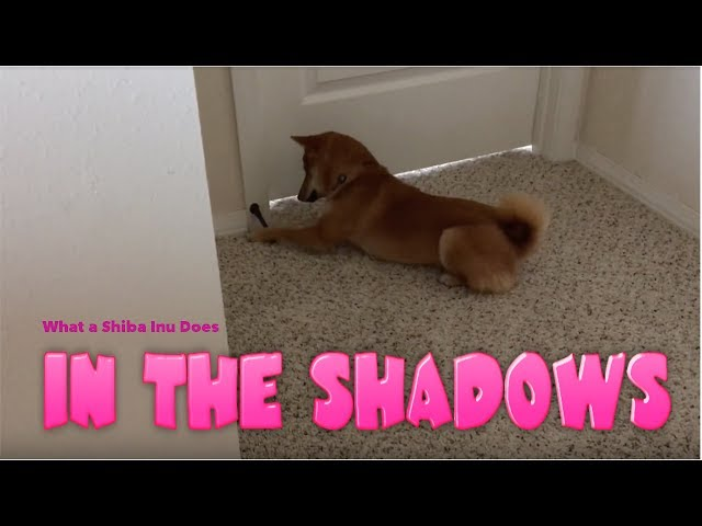 What a Shiba Inu Does in the Shadows