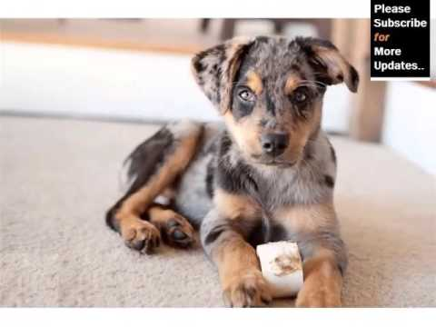 Australian Shepherd Mix Puppies Cute Dogs And Puppies Picture