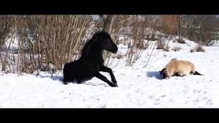 Savvaļas zirgi ziemā Pilssalā, Jelgavā 04.03.2018