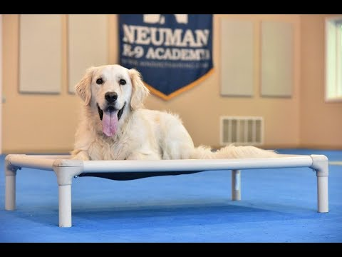 Miles (English Golden Retriever) Boot Camp Dog Training Video Demonstration