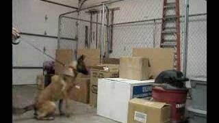 "Detection Dog Training ""passive Alert""   Part 1 Of 3"