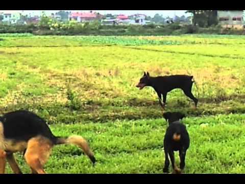 """""""Chó chăn chó"""" đức ở việt nam( gsd & doberman) =))"""