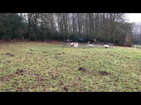 Bearded Collie Einstein-herding training part 1 from 2018-01-27