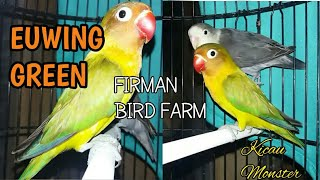 Video Lovebird EUWING GREEN | FIRMAN BIRD FARM download MP3, 3GP, MP4, WEBM, AVI, FLV Juni 2018