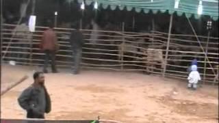 Baixar Pure Desi Goats