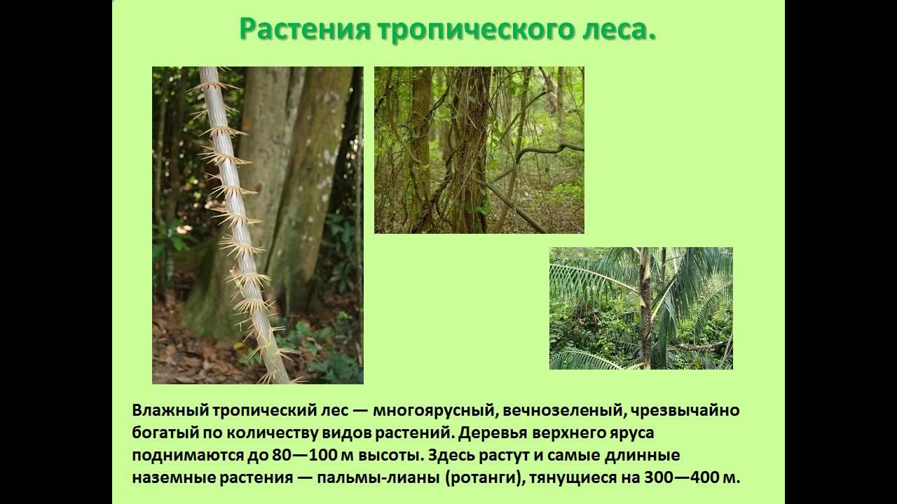 презентация на тему животные и растения тропических лесов ...