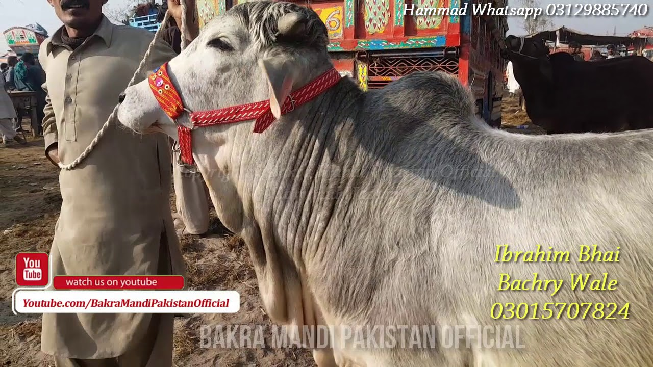 SALE & PURCHASE OF SAHIWAL COW & BULLS - Cow Mandi - 2018 - BakraEid in  Pakistan