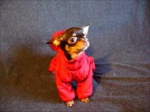 Корм для собак йоркширский терьер купить недорого в интернет магазине товаров для собак unizoo с доставкой по москве, подмосковью и регионам россии.