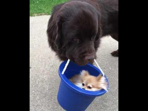 Dog Carries Pomeranian in Bucket