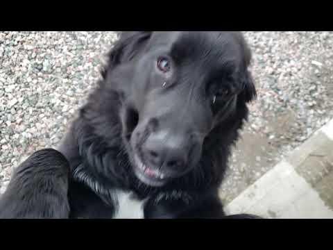 Golden Retriever Bernese Mountain Dog mix