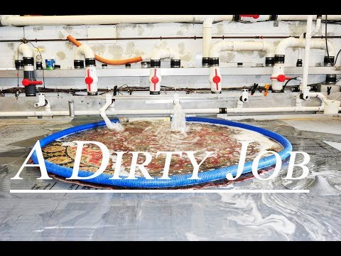 A Dirty Job - Cleaning  Oriental rug from urine odor-#orientalrug