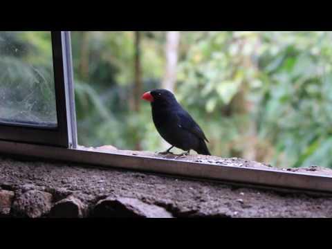 Black-throated Grosbeak (Saltator Fulginosus)
