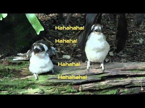 2 Kookaburras (Dacelo novaeguineae) / 2 Jägerlieste