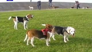 Beagles auf Norddeich