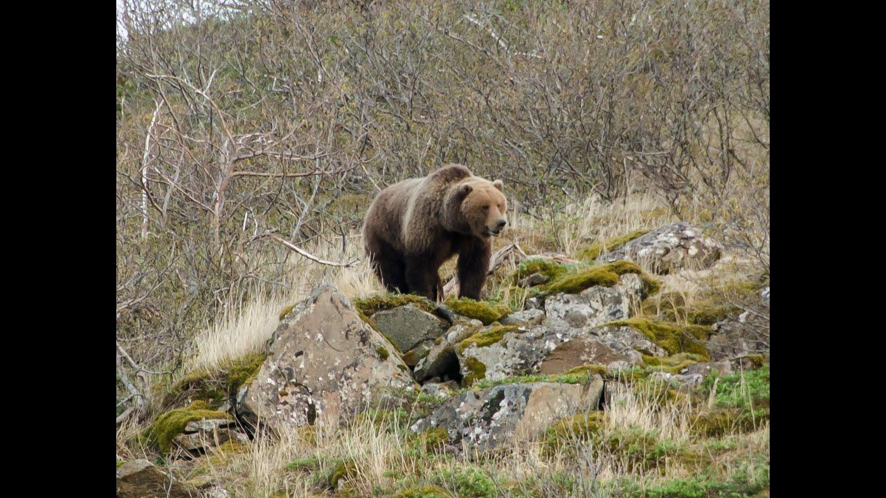 2014 Alaska Peninsula Brown Bear Hunting. - YouTube - photo#2
