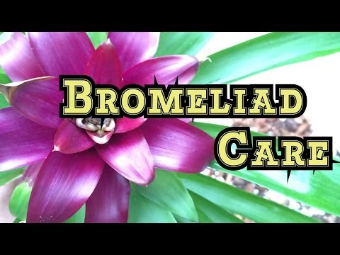 Bromeliad Care: First time Repotting Bromeliads lots of Bromeliad pups