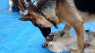 Shih Tzu Vs German Shepherd And The Beagles - Pt2