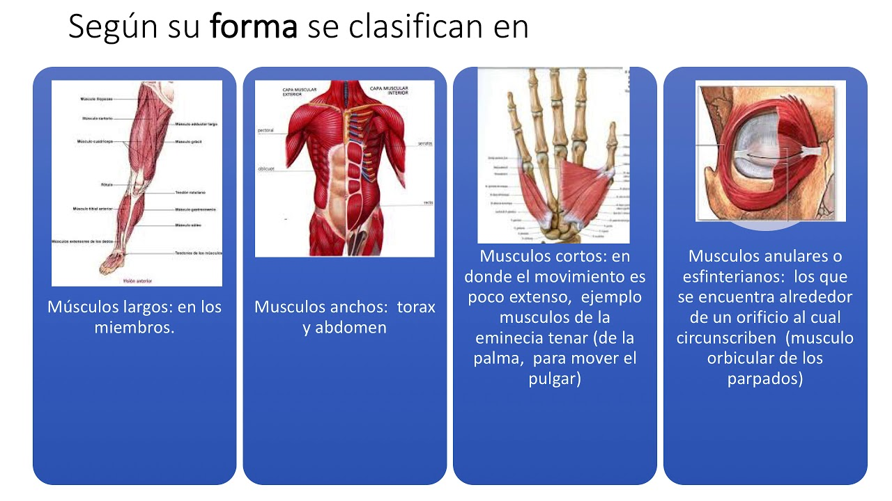 MIOLOGIA generalidades, sistema muscular, tendones - YouTube