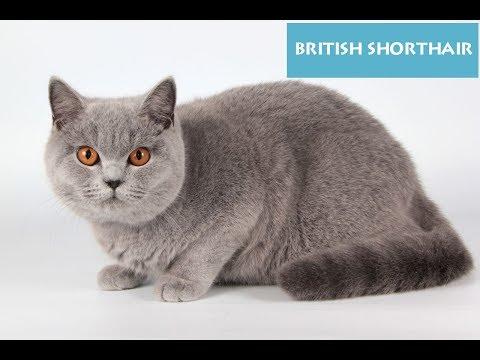British Shorthair-Cats-Video 2017