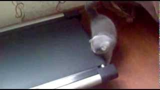 Шотландская кошка на беговой дорожке