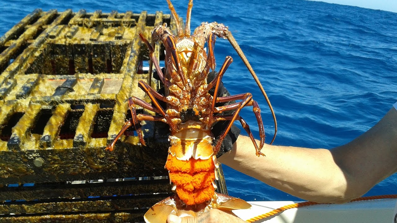 Western Rock Lobster (Crayfish) with Eggs Perth WA - YouTube