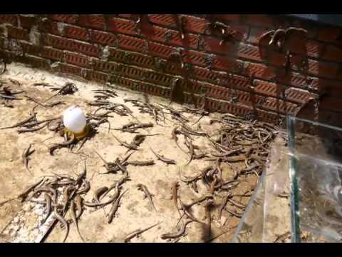 Làm giầu từ nghề nuôi rắn mối tại đồng nai