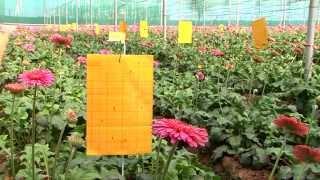 Model Gerbera Farm By Espak Agrotech Pvt Ltd.
