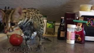 Леопардовая кошка Мишка купается в раковине