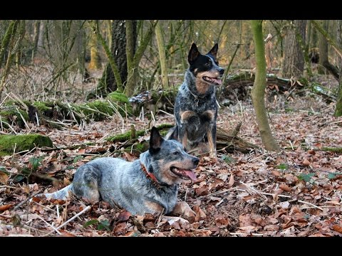 Australian Cattle Dogs in Action