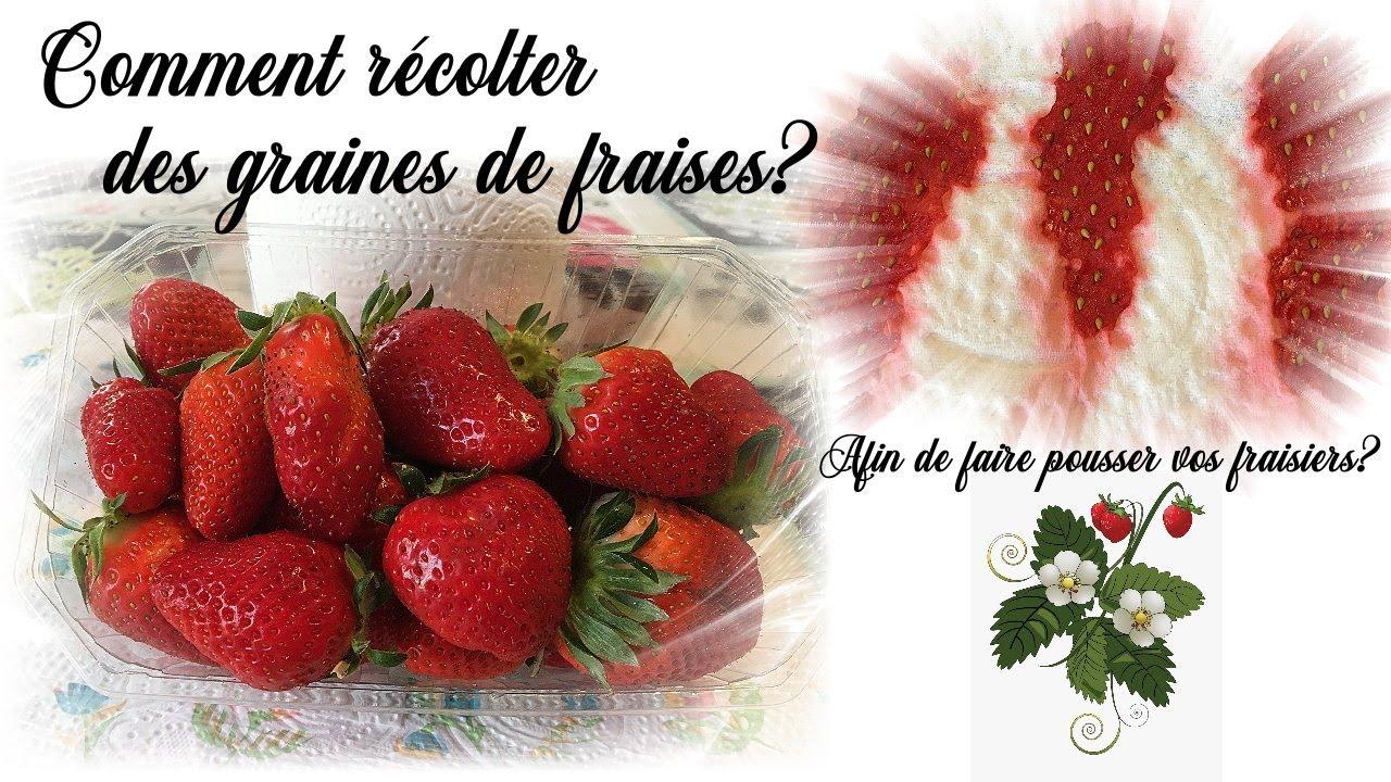 Comment Faire Des Graines De Fraises comment récolter des graines de fraises pour faire pousser des fraisiers?  how to seed strawberry?
