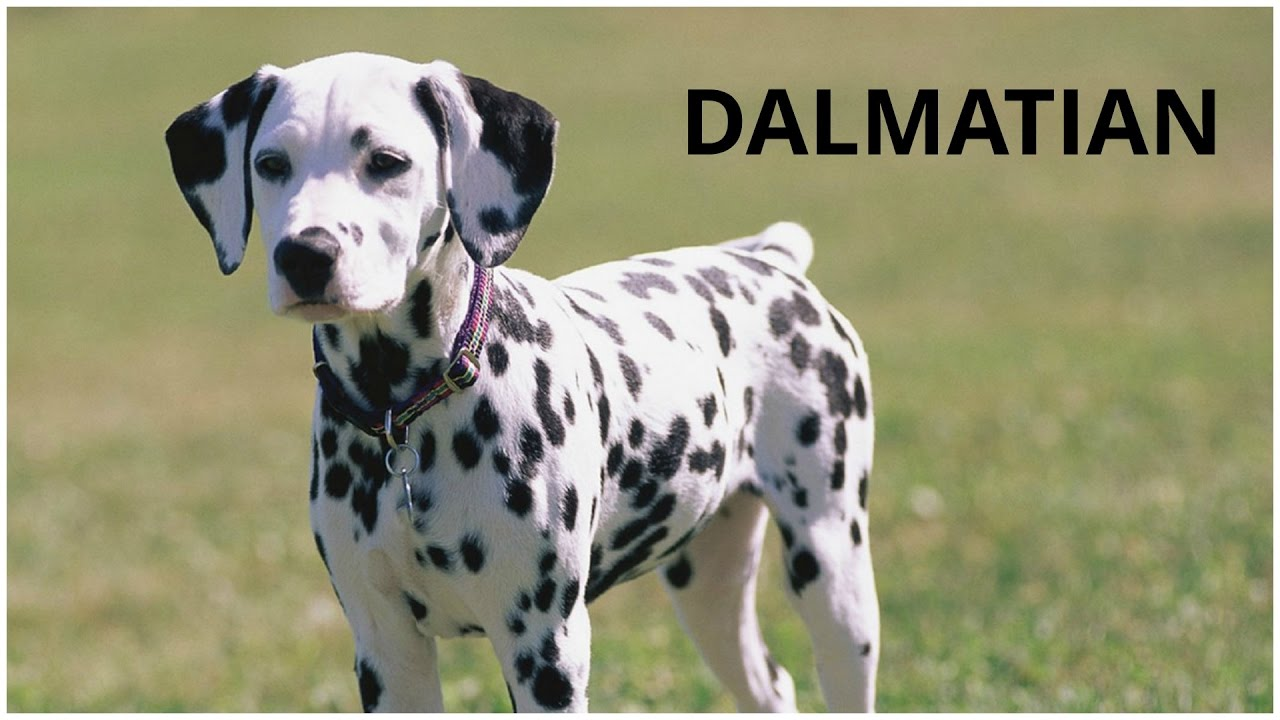 Dalmatian Dogs Pets Dogs Breed Dogs Profile Youtube
