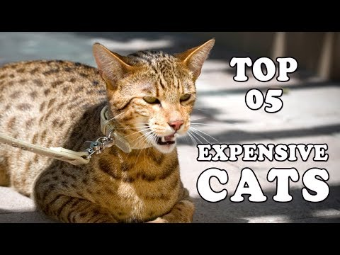EXPENSIVE CAT BREEDS | Top 5 Most Expensive Cat Breeds In The World 2018
