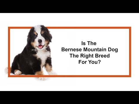 Learn all about the Bernese Mountain Dog and why they could be your perfect pet!
