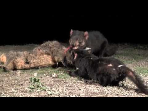 how to save tasmanian devils move