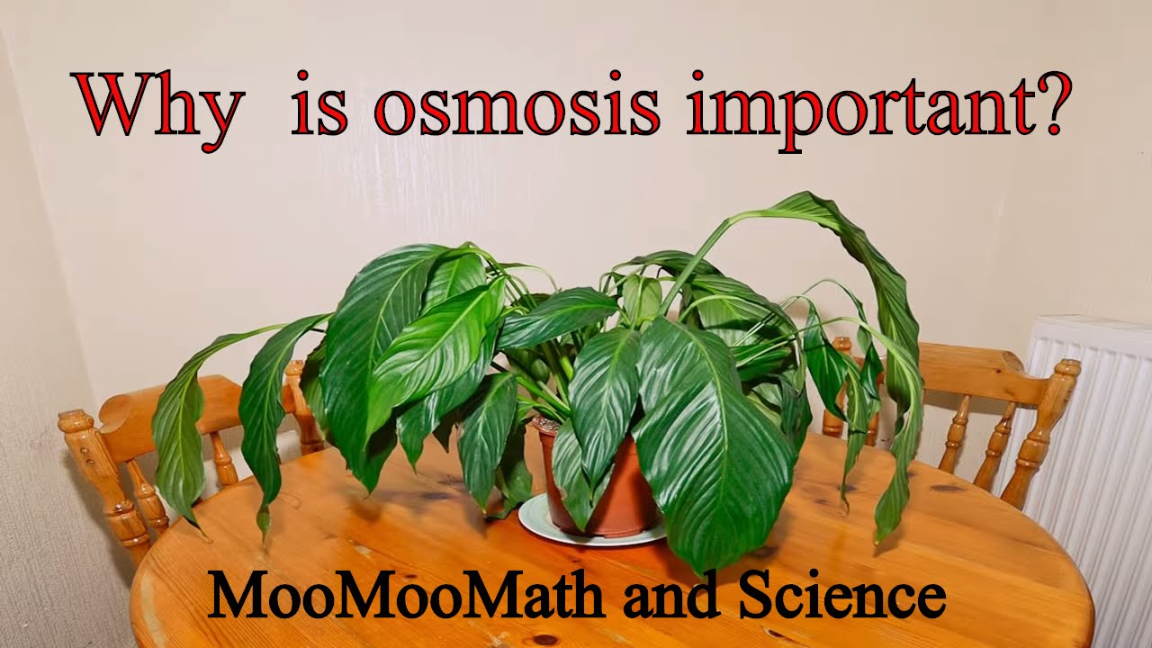 Why is osmosis important ?