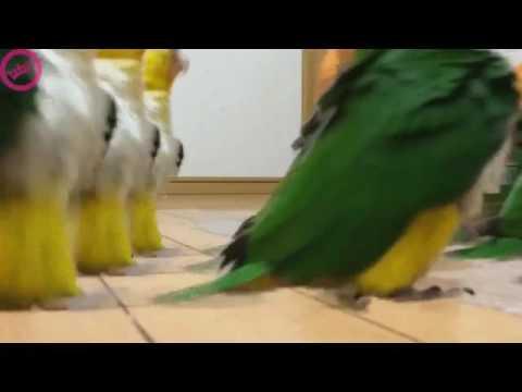 Heil Parrot's Army. 59 minutes long.