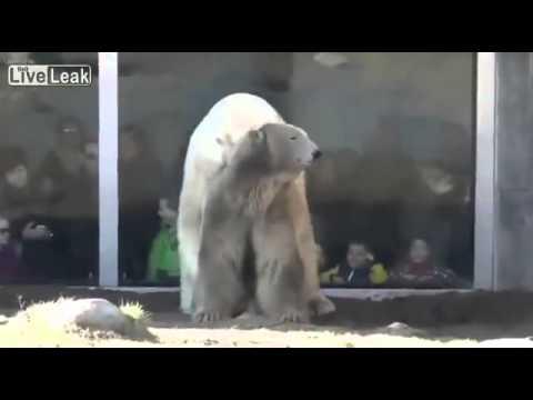 Kenhvideo com Cảnh gấu trắng giao phối trong sở thú
