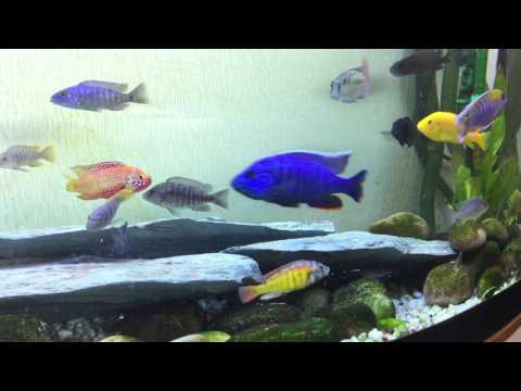 Jewel VS Hap. Cichlids fighting.