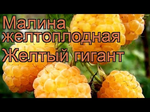Малина желтоплодная Желтый гигант (zheltyi gigant) 🌿 обзор: как сажать, саженцы малины Желтый гигант