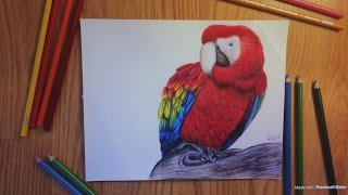 Drawing a Scarlet Macaw