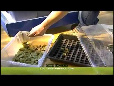 cannabis grow 5 keimen der samen anzucht youtube. Black Bedroom Furniture Sets. Home Design Ideas