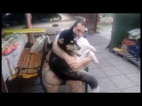 Some TLC moments between Alaskan Malamute and her owner