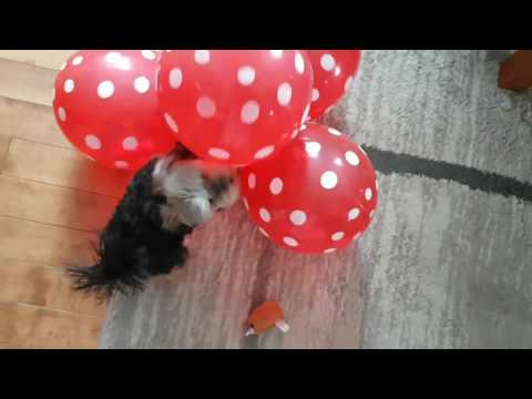 Agent The teacup yorkie plays with balloons