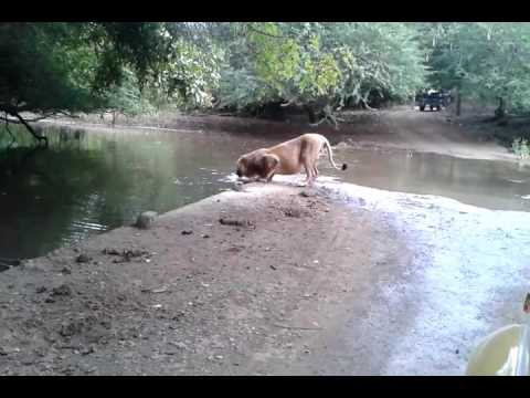 Lion drinking water at Gir forest