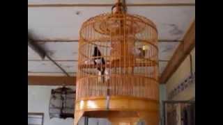 Murai Cacing Main Ekor ( Oriental Magpie Robin)